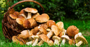 Basket with edible mushrooms. Boletus edulis.
